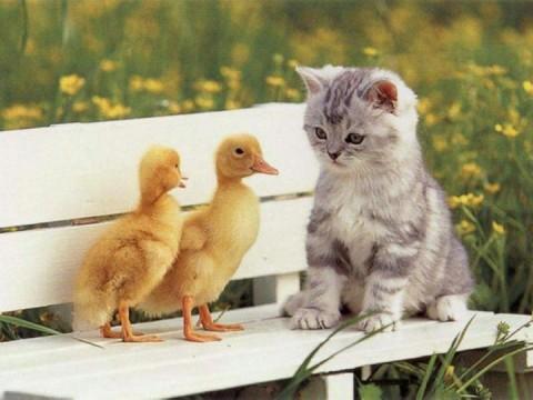 قطة مع فراخ البط